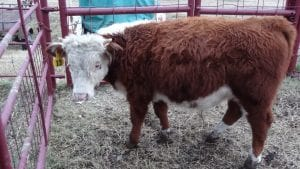 Mini Hereford Bull Jumping Jack Flash