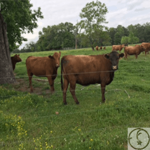 A2A2 Red Angus Cattle in east Texas