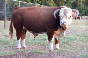 Mini Hereford Bull M Luther