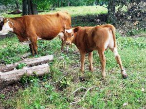 Pet Mini Cow JOHNNY REB