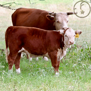 Miniature Hereford Cow Calf pair on Falster Farm on Pasture 365