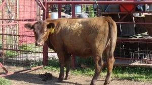 Red Angus Heifer E-6
