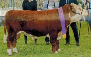 One result of using KNF GENERAL STAN WATIE frozen semen - Supreme Champion of 2018 Australian all breed show: LLIAM.