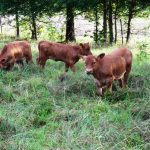 Red Angus Calves For Sale