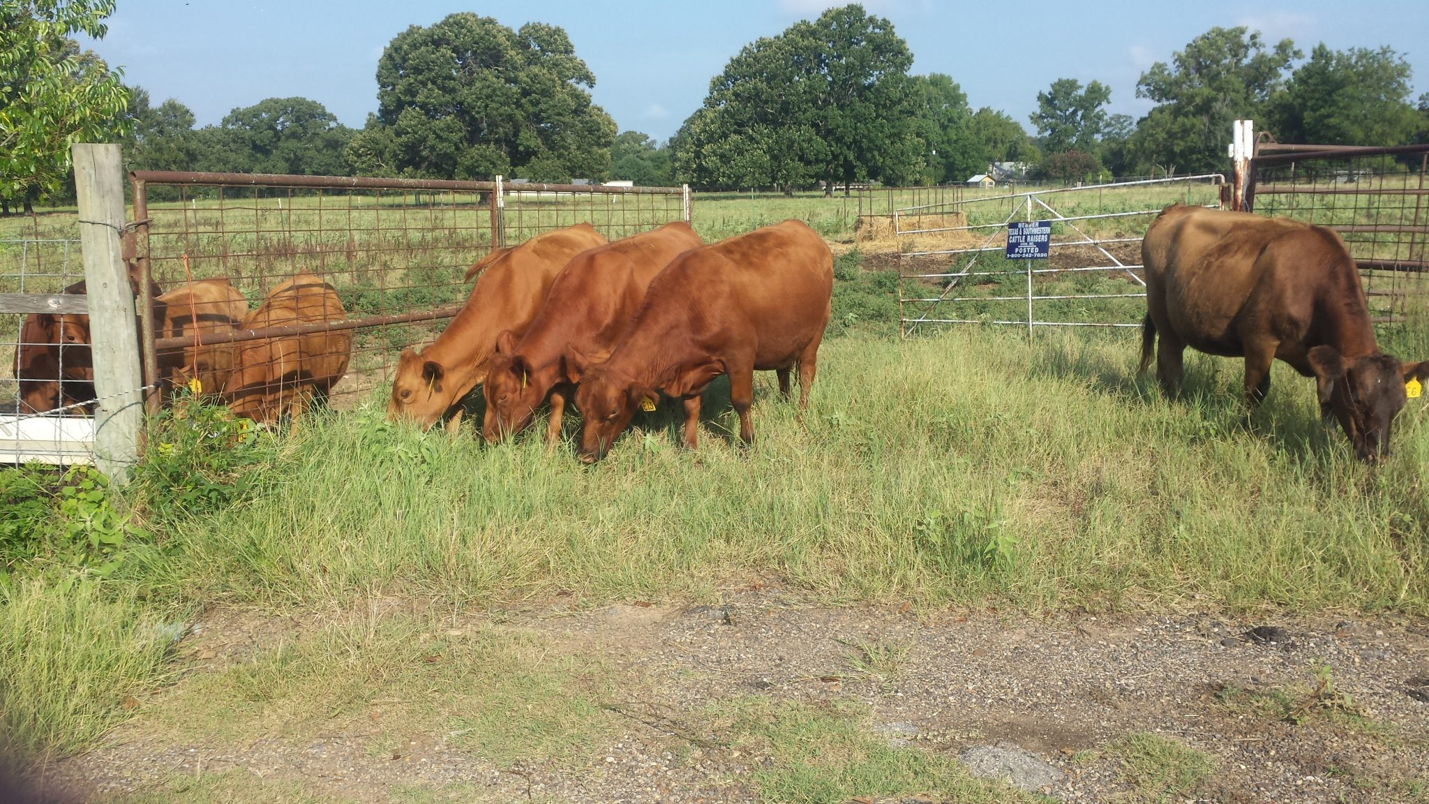 PCC Red Angus Heifers